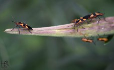 A milkweed beetle leader